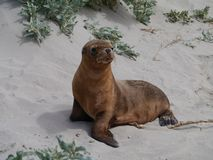 An Australian sea lion baby Stock Image
