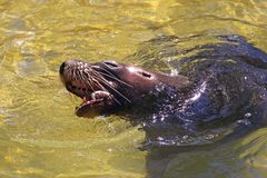 Australian Sea-Lion eating a Fish Royalty Free Stock Image