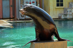 Australian sea lion Royalty Free Stock Photo