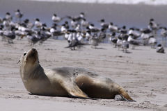 Australian Sea Lion (Neophoca cinerea) Royalty Free Stock Photography