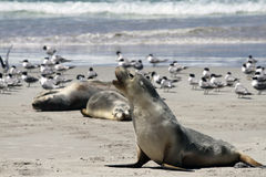 Australian Sea Lion (Neophoca cinerea) Royalty Free Stock Images
