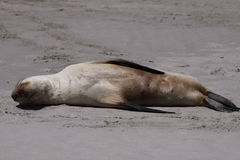 Australian Sea Lion (Neophoca Cinerea) Stock Images
