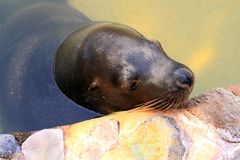 Australian Sea Lion - Neophoca cinerea Stock Image