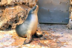 Australian Sea Lion - Neophoca cinerea Stock Images