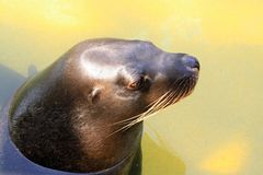 Australian Sea Lion - Neophoca cinerea Stock Photos