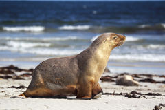 Australian sea lion (Neophoca cinerea) Stock Images