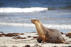 Australian sea lion (Neophoca cinerea) Royalty Free Stock Image