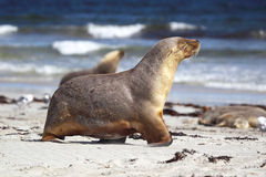 Australian sea lion (Neophoca cinerea) Stock Photos