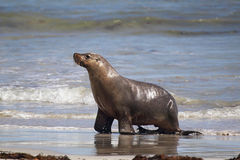 Australian sea lion (Neophoca cinerea) Royalty Free Stock Photo