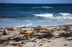 Australian sea lion, Neophoca cinerea, on the beach at Seal Bay, Kangaroo Island, South Australia, Australia. stock image