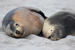Cute pair Australian sea lion, Neophoca cinerea, sleeping on the beach at Seal Bay, Kangaroo Island, South Australia, stock image