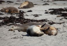 Cute pair Australian sea lion, Neophoca cinerea, sleeping and hugging on the beach at Seal Bay, Kangaroo Island, South stock photos