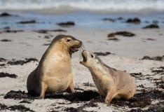 Pair Australian sea lion Neophoca cinerea playing on the beach at Seal Bay, Kangaroo Island, South Australia, Australia. stock images