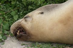 Close up portrait of sleeping Australian sea lion, Neophoca cinerea, on the beach at Seal Bay, Kangaroo Island, South stock photo