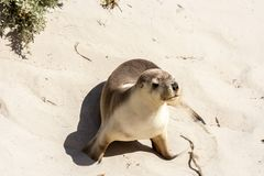 Australian Sea Lion Neophoca cinerea on Kangaroo Island coastline, South Australia stock photos