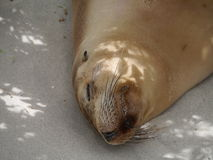 An Australian sea lion Royalty Free Stock Images