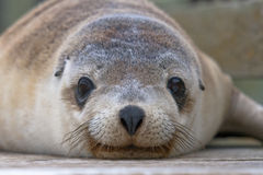 Australian Sea Lion Pup Stock Photo