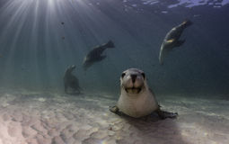 Australian sea lion resting on a sandy bottom. South Australia Royalty Free Stock Photo