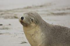 Australian Sea Lion,SA, Kangaroo Island,Australia Stock Images