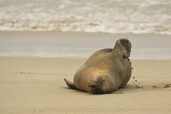 Australian Sea Lion,SA, Kangaroo Island,Australia Stock Photo
