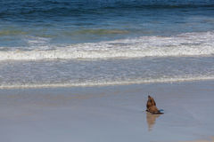 Australian Sea Lion seal heading towards the ocean. Stock Images