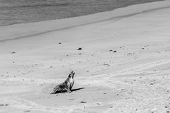 Australian Sea Lion seal yawning on sandy beach in black and whi Stock Photography