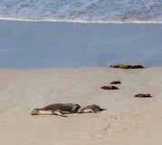 Australian Sea Lion seals mother and cub sleeping on a beach. Ka Royalty Free Stock Photo