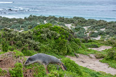Australian sea lion sleeping on a bush Royalty Free Stock Images