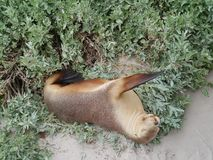 Australian sea lion Royalty Free Stock Photography