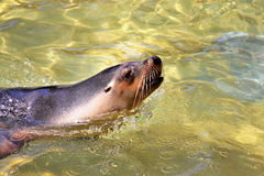Australian Sea-Lion surfacing to breathe. Neophoca cinerea Royalty Free Stock Image