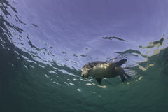 Australian Sea Lion royalty free stock image
