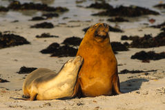 Australian Sea Lions. A breeding pair of australian sea lions cuddling on the beach on Kangaroo Island, Australia Royalty Free Stock Photography