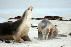Australian Sea Lions Royalty Free Stock Photos