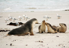 Australian Sea Lions. A mother Australian Sea Lion with her pups at Seal Bay on Kangaroo Island in Australia Stock Photography