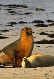 Australian Sea Lions. A male  australian sea lion sits over a female on the beach on Kangaroo Island, Australia Stock Image