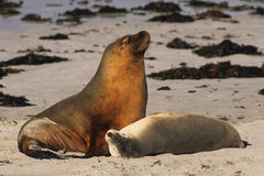 Australian Sea Lions. Male and female australian sea lions c on Kangaroo Island, Australia beach Royalty Free Stock Photos