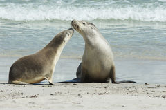 Australian Sea Lions, Australia Stock Photo