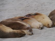 Australian sea lions Royalty Free Stock Images