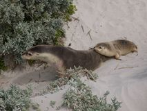Australian sea lions Stock Images