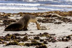 Australian sea lions, mother and baby Neophoca cinerea on Kangaroo Island coastline, South Australia , Seal bay.  stock photo