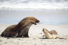 Australian sea lions (Neophoca cinerea) Stock Photography