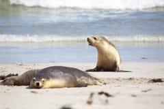 Australian sea lions (Neophoca cinerea) Royalty Free Stock Photos