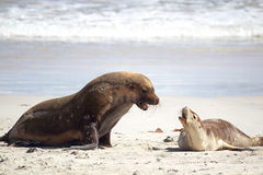 Australian sea lions (Neophoca cinerea) Royalty Free Stock Image