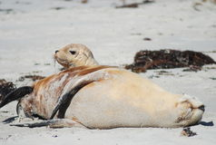 Australian sea lions, mam and baby, Kangaroo Island, Australia Royalty Free Stock Images