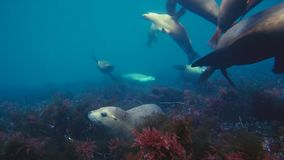 Australian sea lions Neophoca cinereaplaying in shallow waters in the Neptune Islands area, South Australia. Marine life concept royalty free stock image