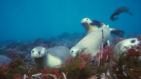 Australian sea lions Neophoca cinereaplaying in shallow waters in the Neptune Islands area, South Australia. Marine life concept royalty free stock photos