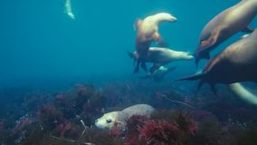 Australian sea lions Neophoca cinereaplaying in shallow waters in the Neptune Islands area, South Australia. Marine life concept stock photo
