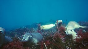 Australian sea lions Neophoca cinereaplaying in shallow waters in the Neptune Islands area, South Australia. Marine life concept stock image