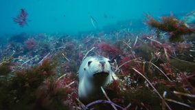 Australian sea lions Neophoca cinereaplaying in shallow waters in the Neptune Islands area, South Australia. Marine life concept stock photography