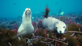 Australian sea lions Neophoca cinereaplaying in shallow waters in the Neptune Islands area, South Australia. Marine life concept stock photos